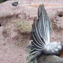 6355   Back view of peacocks display