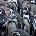 6360   Group of Humbolt penguins