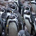 6361   Group of humbolt penguins
