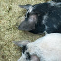 6273   Two domestic pigs on straw