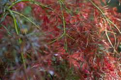 5171   Plant with red leaves