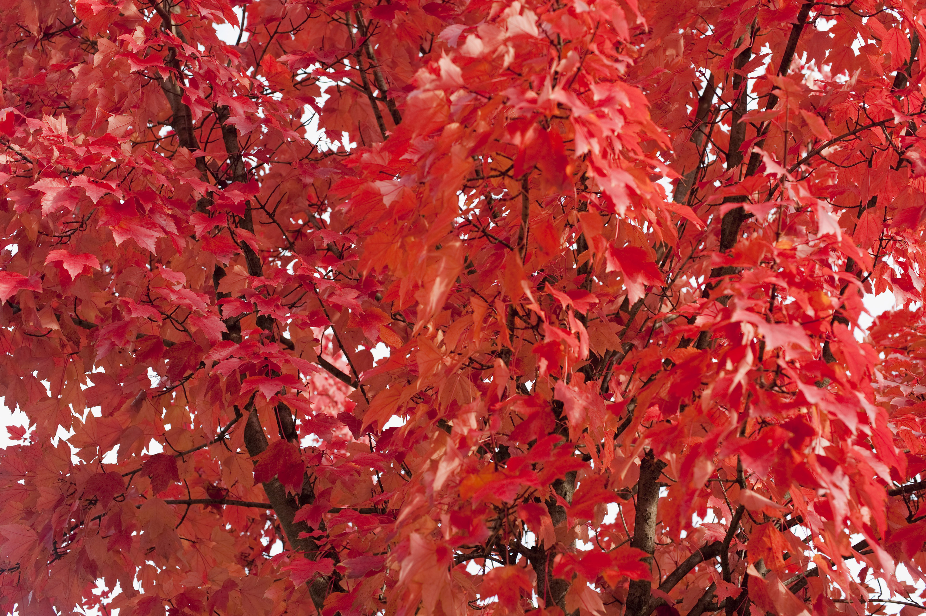 Free Stock Photo 5172 Red Autumn Leaf Background ...