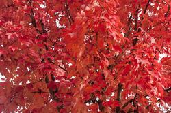 5172   Red Autumn Leaf Background
