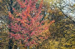 5173   Colourful Red Autumn Foliage