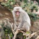 5965   wise old monkey