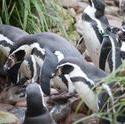 6365   Group of Humbolt penguins