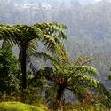 5725   Tree Ferns