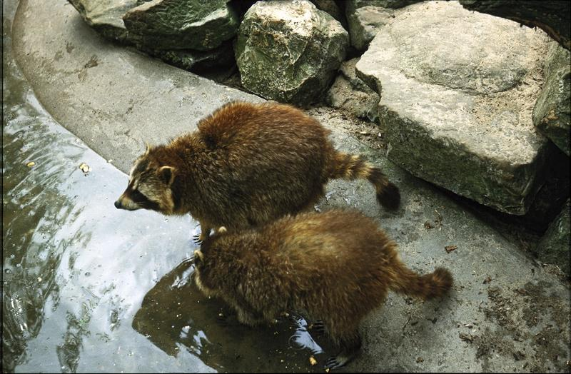 <p>&nbsp;Two racoons, Amsterdam zoo (Artis Natura Magistra), midseventies (originally slide)</p>