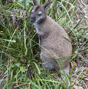 6414   Adult wallaby in grass