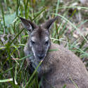 6279   Wallaby in grass