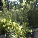 5858   wattle flowers