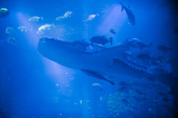 7427   Large whale shark in an aquarium