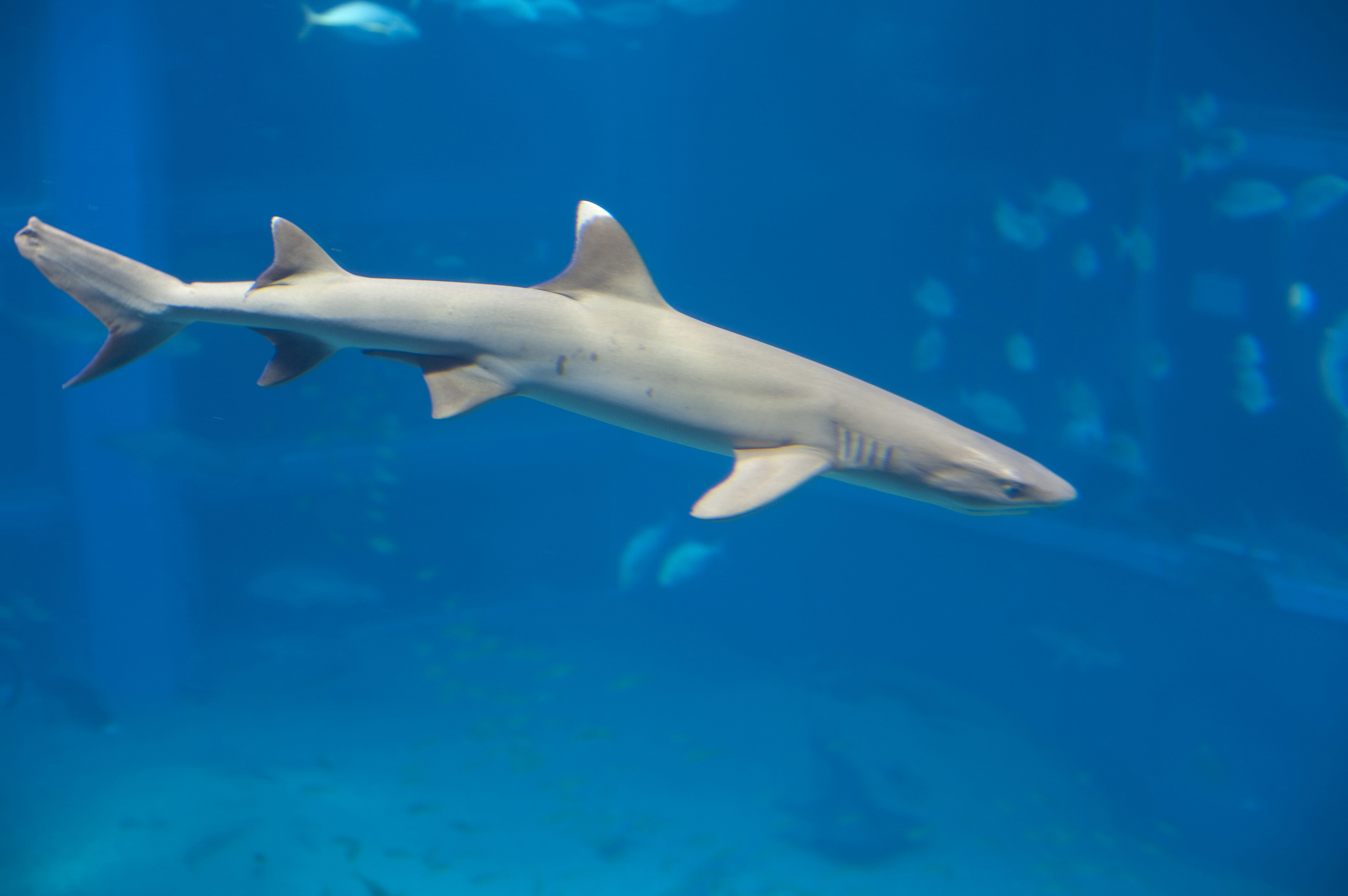 Free Stock Photo 7405 White tip reef shark | freeimageslive