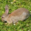 5935   wild rabbit up close koog aan de zaan 2009