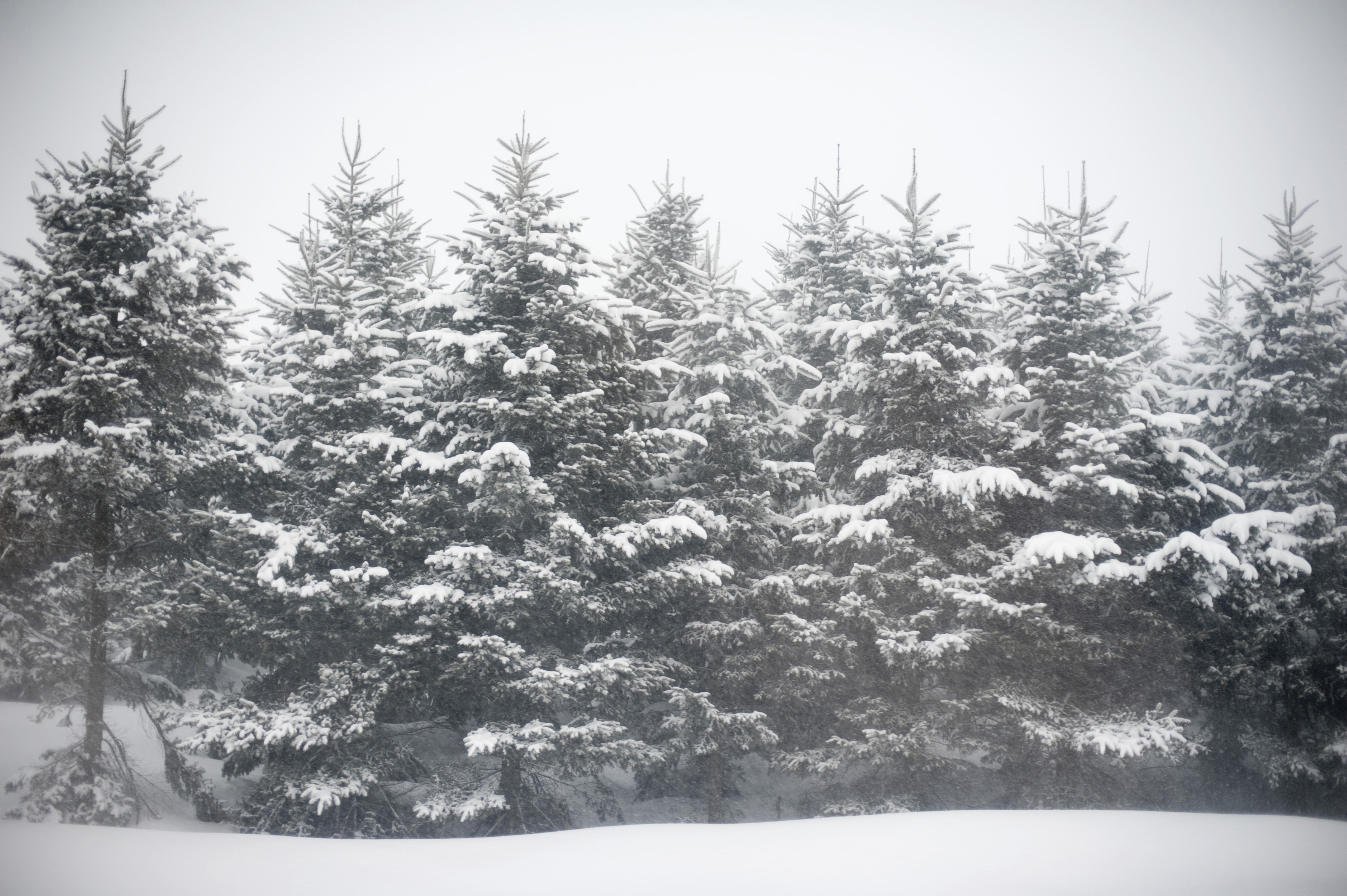 Free stock photo 5972 winter wonderland freeimageslive - Images of pine trees in snow ...