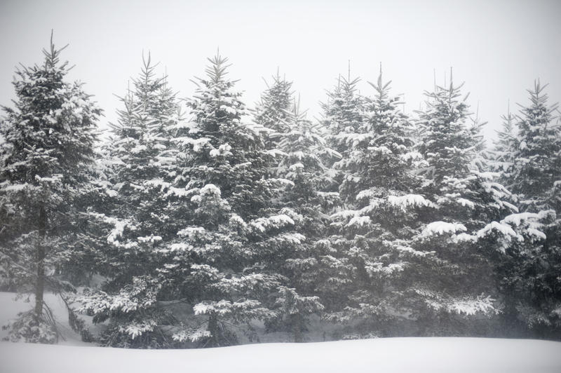 row of pine trees covered in falling snow