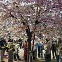 6148   yoyogi park blossom