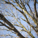 8721   Bare leafless tree branches against a blue sky