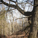 8722   Large old tree in woodland