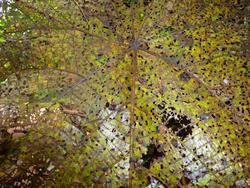 10909   Bug Eaten Leaf Riddled with Holes