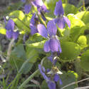 8153   bush of wild violets