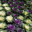 8482   Flowering cabbages