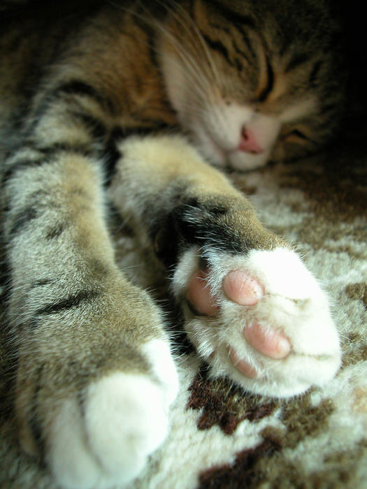 <p>British short hair tabby cat sleeping</p>