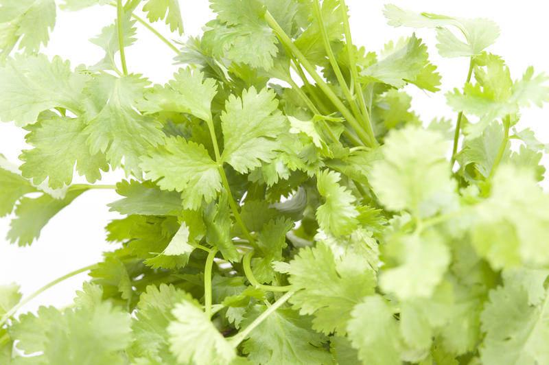 Bunch of fresh coriander leaves, an aromatic herb used as a garnish and seasoning in cooking