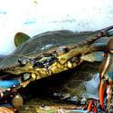 7699   Crab