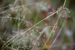 10952   Dew drops on delicate plant stems