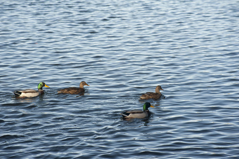 Two pairs of Mallard ducks swimming in a duck pond on rippling water with copyspace
