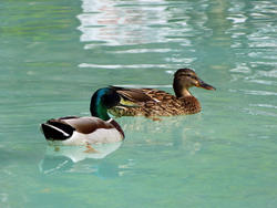 8252   Ducks in Benalmadena Parc
