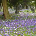 7878   Easter crocus flowers