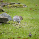 9836   Grey squirrel eating seeds in a garden
