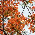10945   flowering tree