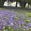 7879   Flowering purple crocus