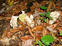 8574   forest fungus