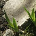 8150   irises and stone