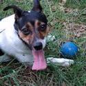11235   jack russel terrier suus