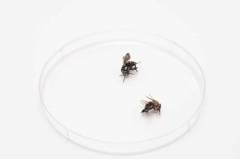Two dead household flies lying in a plastic petri dish on a white surface