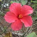 8769   pink  hibiscus flower