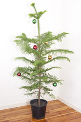 8665   Potted natural evergreen Christmas tree