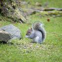 9837   Wild grey squirrel foraging on seeds