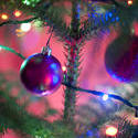 11576   Festive purple bauble on a natural Xmas tree