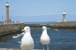 8029   Whitby seagulls