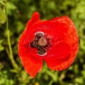 16830   Poppy