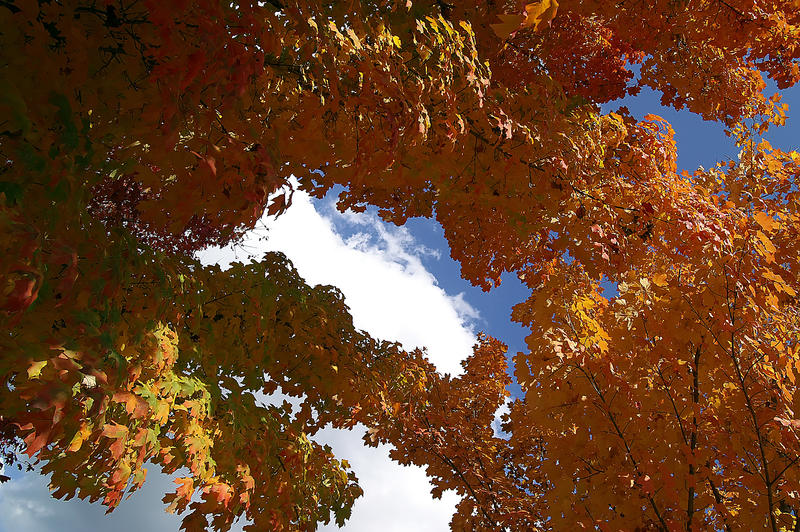<p>Colorful turning autumn maple foliage is in peak display against a partly cloudy deep blue sky.</p>