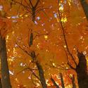 12240   Autumn Maple V003