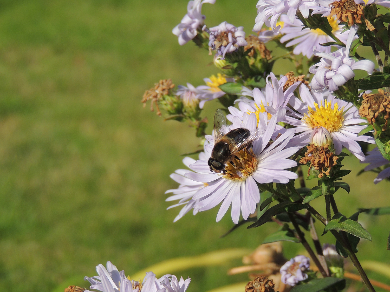 free stock photo 15642 bee on flower freeimageslive