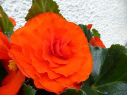 12915   Gorgeous vivid red summer begonia